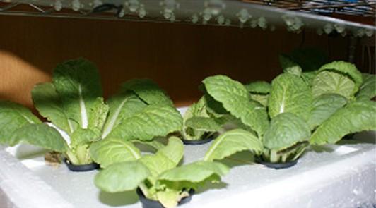 led植物生長燈於植物種植