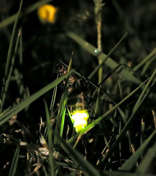 在英國威爾斯,螢火蟲的繁殖生活受到高壓鈉路燈光害的影響。(圖片來源:維基百科)