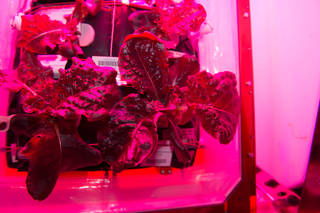 加入了綠色LED燈,中和紫色光芒,讓植物看起來更像食物。