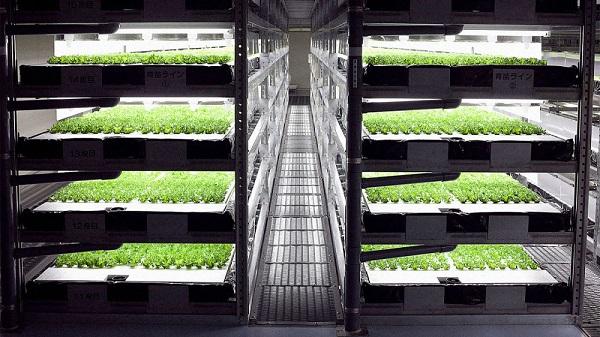 室內垂直耕種使用LED燈照明,可以密切監控作物的光合作用,提高產量。(