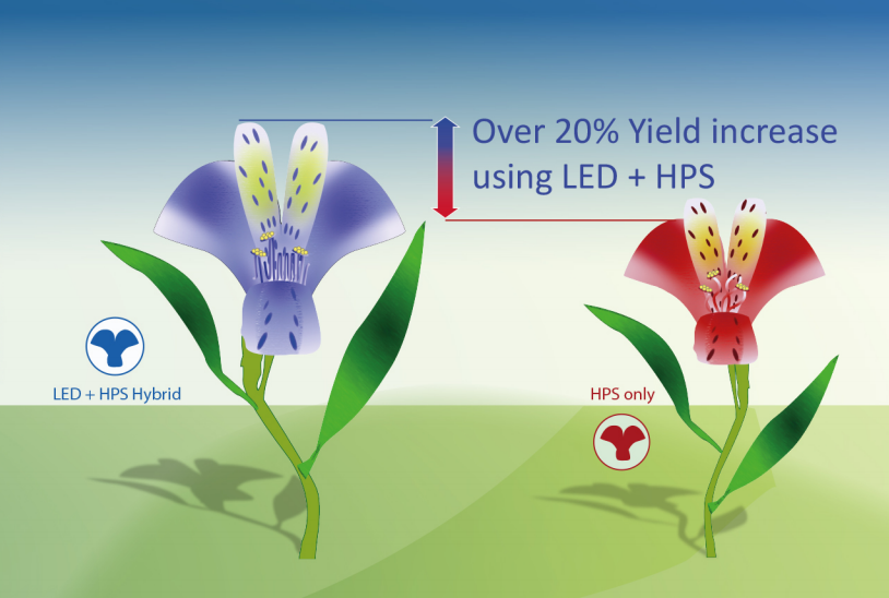 Together2Grow與普萊賽合作將LED照明百合花。試驗結果顯示,百合花產量增長了20%。