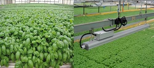 義大利一家九層塔種植商選擇用LED取代高壓鈉燈,發現可以促進植物生長,同時減少農場的能源消耗。